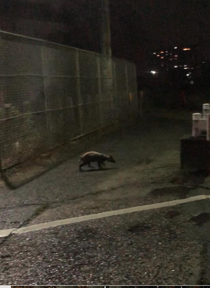 先ほどこんな動物を街で発見しました。 なんの動物かわかりますか?素早く走り白っぽかったです。