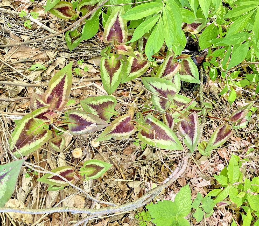 カラフルなイタドリに似た植物の名前を教えてください。