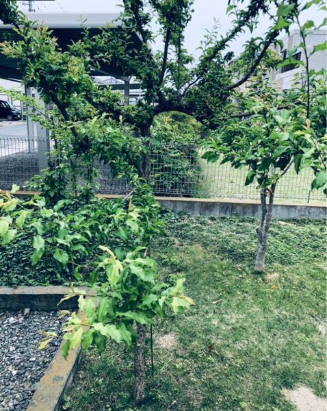3年ほど前にホームセンターで背丈50cm程度 の綺麗な濃いピンク色の花が咲いていた桃の 木苗を購入して庭に植えました。 現在は背丈が2m程に成長していますが、購入 後一度も花を咲かせたことがありません。 毎年毛虫の発生が凄くて、消毒スプレーを噴霧 していますが、何年かすれば花が咲くように なるのでしょうか? 購入したのは枝垂れ桃だったはずなのですが、 枝も全て空に向かって伸びるだけで、枝垂れ る感じも全くありません。 騙されたのでしょうか? 手入れの仕方が悪いのでしょうか? 詳しい方、回答をよろしくお願い申し上げます。