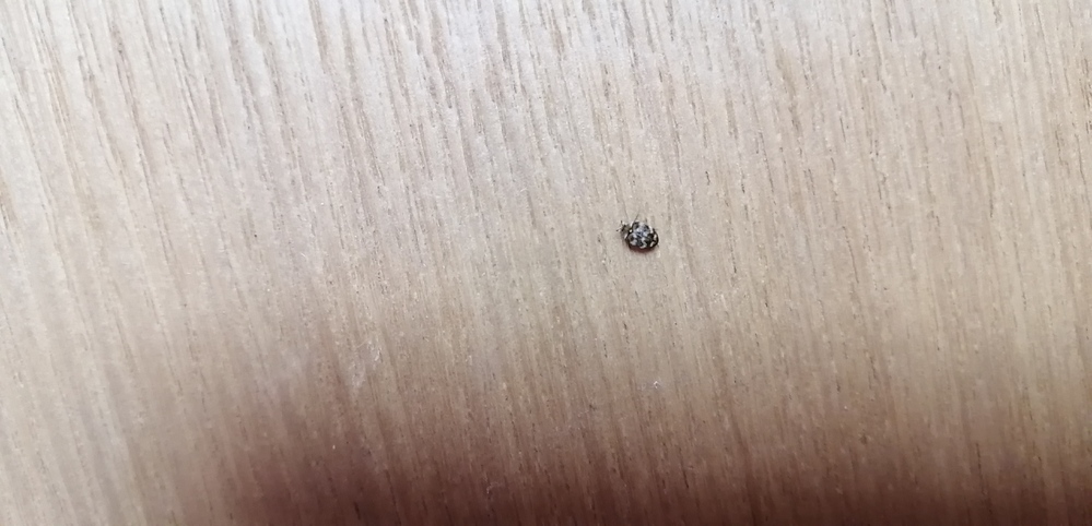 最近、時々家の中で、この虫(2ミリ位)を見かけます。過去に見たことはないのですが、何の虫かご存じの方いらっしゃいますか?