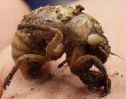 これは何セミの幼虫でしょうか?