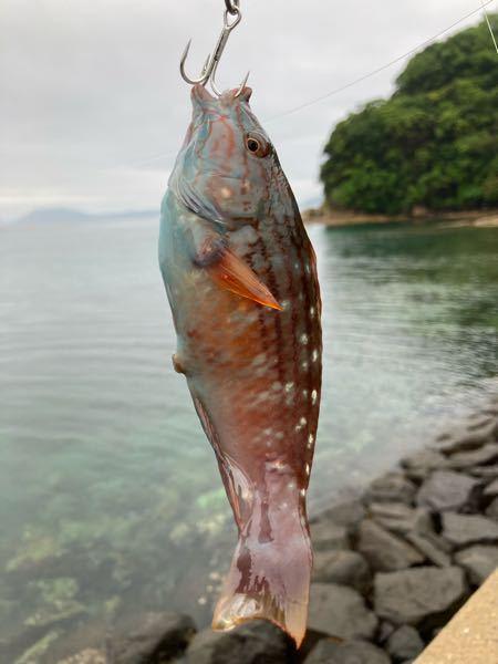 お尋ねです。 この魚はなんという魚ですか??