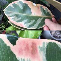 観葉植物 ゴムの木 フィカスエラスティカ フィカスの葉が写真のようになります。 これは葉焼けでしょうか?