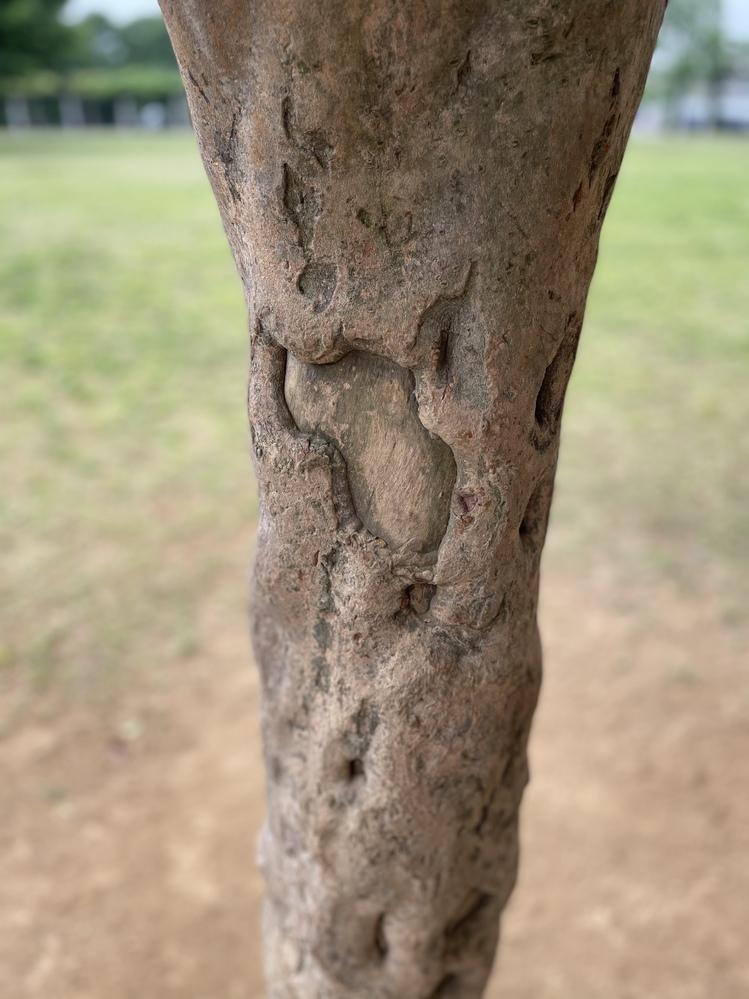 500枚です。大至急お願いします!!このような樹皮を持つ植物の名前を教えてください