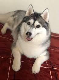 ハスキーって見た目がまんまオオカミですよね笑。 小さい頃、公園にいたハスキーらしき犬を見てテレビで知ったオオカミだと勘違いした経験があります。 実際に柴犬のようにオオカミに近い、またはオオ...