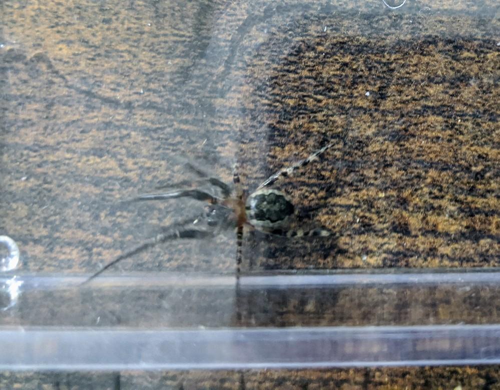 家の床に大きなクモがいました。種類をおしえていただきたいです。