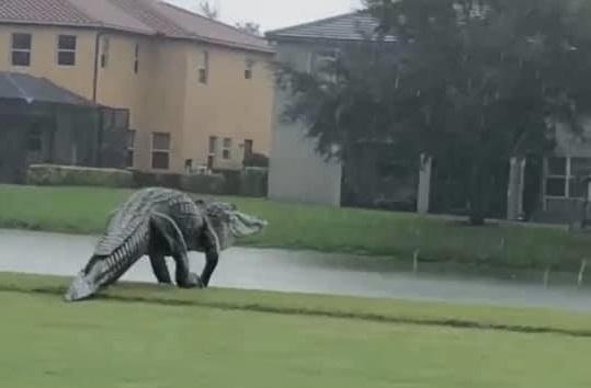 これはフロリダのゴルフ場で撮られた写真らしいですが、こんなのがいるんですか。