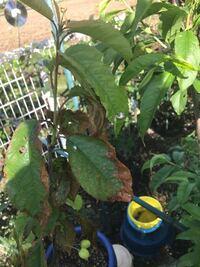 さくらんぼですが写真の様に葉っぱの周りが茶色くなり落葉していきます。 病気でしょうか? 今後の対処法があれば教えて頂きたいです。 ちなみに8号鉢で2年目の木です。