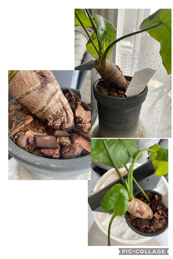 クワズイモに関してです。根茎が曲がっています。下の方に皺?がありますが、触ってもそんなにブヨブヨカスカスはしていないと思います。 質問①中が腐っている可能性が高いでしょうか?1枚先端が黄色くなっている葉っぱもありますが、新芽も出てきています。 質問②このまま放置して大丈夫でしょうか?それとも根茎を切って?植え替えたほうがいいでしょうか? 質問③このままで良いとしたら、曲がりを直す方法はありますでしょうか? よろしくお願い致します。