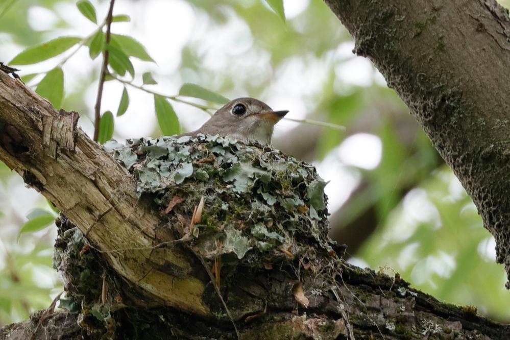 営巣中の野鳥の名前を教えて下さい。 コサメビタキでしょうか。