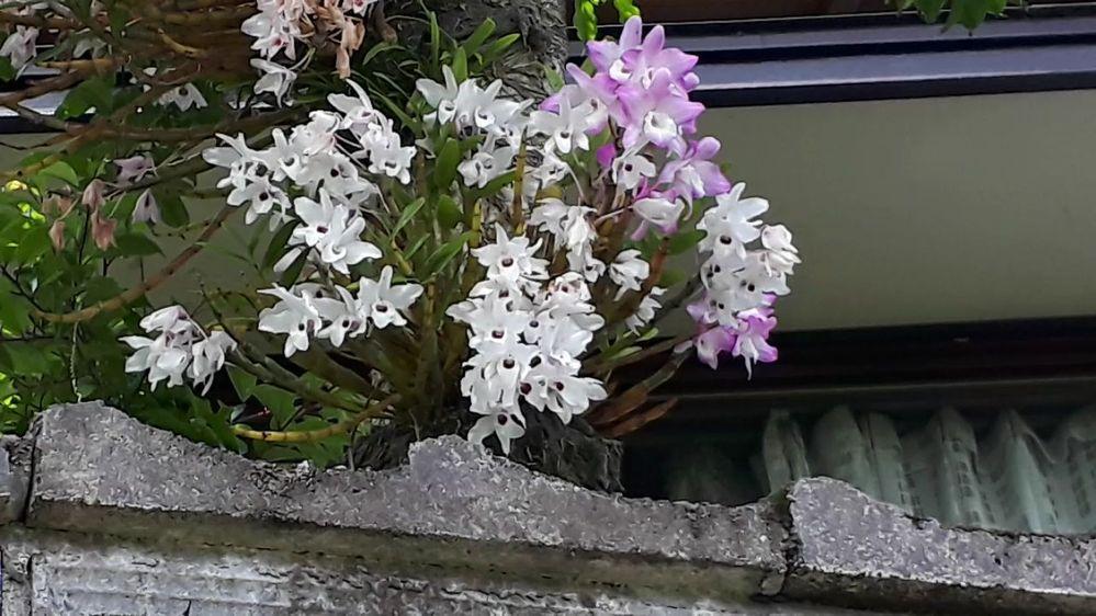 この花の名前を教えて下さい。 木に寄生しているようです。