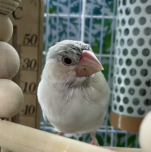 生後3ヶ月程のクリーム文鳥です 先月2ヶ月の時にお迎えし、今雛関羽中です。 ペットショップで既に後頭部の羽の付け根にグレーが入っており「本当にクリームかなぁ?」と半信半疑ながらも購入しました。 日