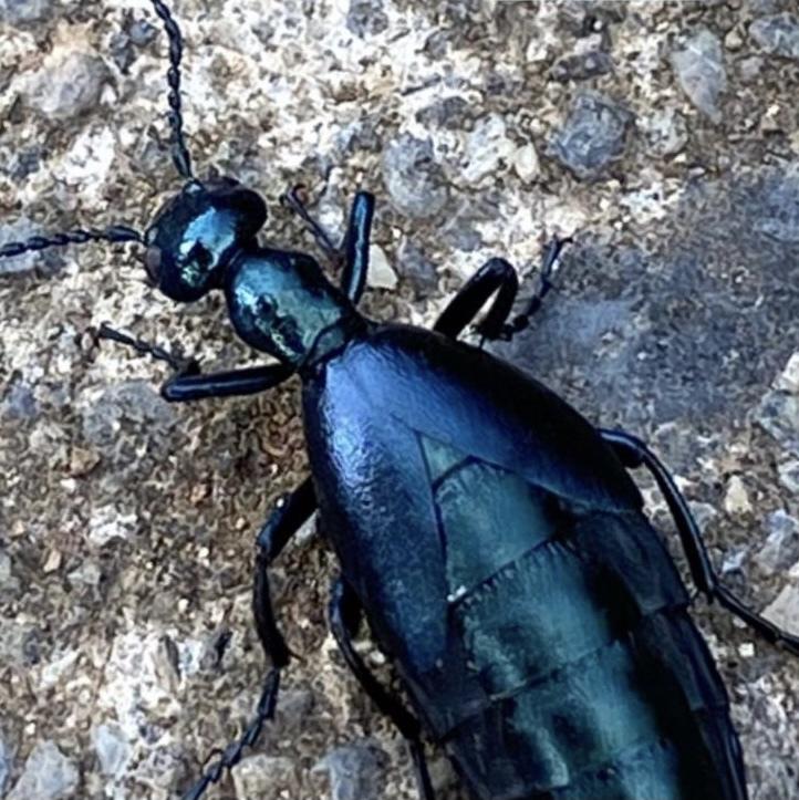 この虫は何でしょうか。マイマイカブリのようですが、羽の部分が違うかと…。