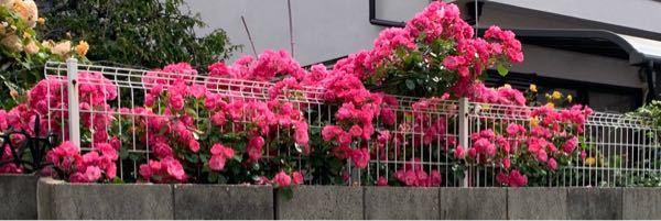 このバラの品種はなんでしょうか? 一季咲きだから、この時期にこんなにたくさん咲くのでしょうか? 四季咲きの方が一度の花数は少ないですか?