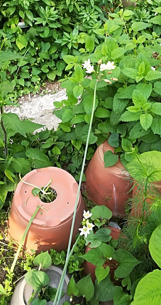 添付写真(中央の細い茎の白い花)の植物の名前を教えてください。