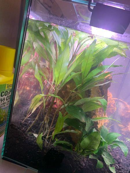 アクアリウム初心者です。 水草を買って植えたのですが、この水草(左手前)の名前を忘れてしまいました… どなたか教えていただきたいです…