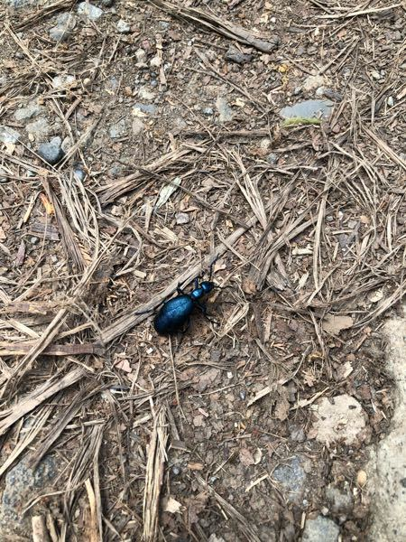 この虫は何のムシですか? 初めて見ました。 色は青系の色でキラキラしていてとても綺麗でした。