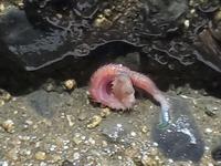 海沿いを散歩したらイモムシみたいなのいました!これはなんと言う生き物ですか?活発に泳いでました