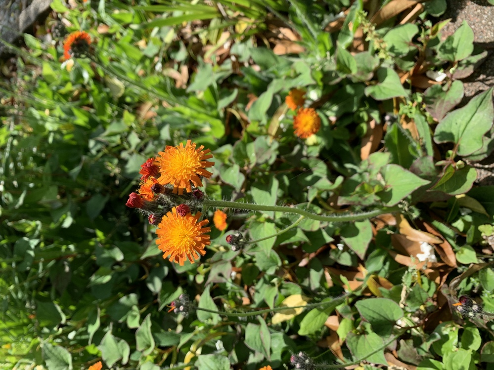 庭に群生し出したこのお花。どこからか種が飛んできたのだと思います。何という花なのか?教えてください。