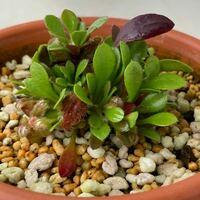 食虫植物セファロタスです 子株がいくつか出てきたのですが袋を大きくコツは有るのでしょうか、また砂利系と水苔では生育に違いが出るのでしょうか?