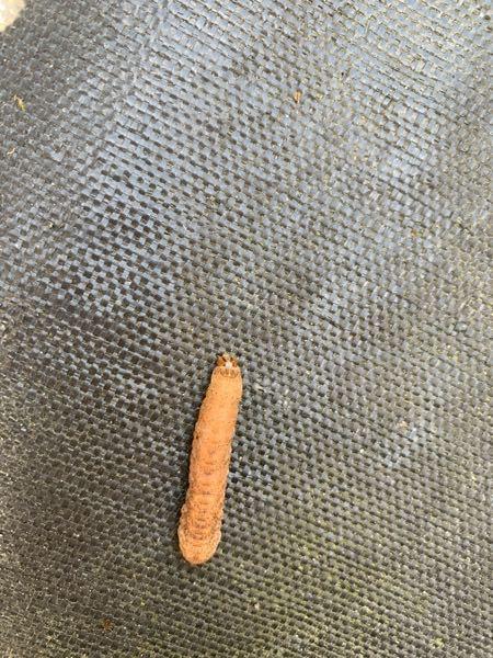 庭にいました。これはなんの幼虫ですか? 子供が触ってしまいました。 虫は色々見て触り経験させてあげたいのですが見たことがないので心配です。 害はありませんか?