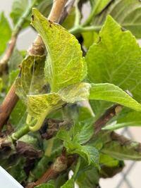 鉢植えの紫陽花に、蜘蛛の巣のようなものと、虫が発生してしまいました。 対処法を教えていただけませんか?