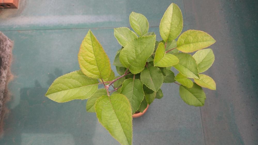 この植物は何でしょうか? 4月末に一度質問しましたが、リンゴ属ではと言う事で、名前まで分かりませんでした。成長を待って見ましたが、鉢が小さいせいか、葉が少し大きくなった程度で4月末とさほど変わりません。
