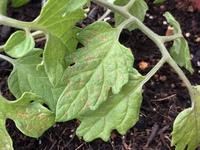 家庭菜園でミニトマトを育てています。 葉っぱの色が変色してしまっているのですが、病気でしょうか?対応策も教えていただけると嬉しいです。