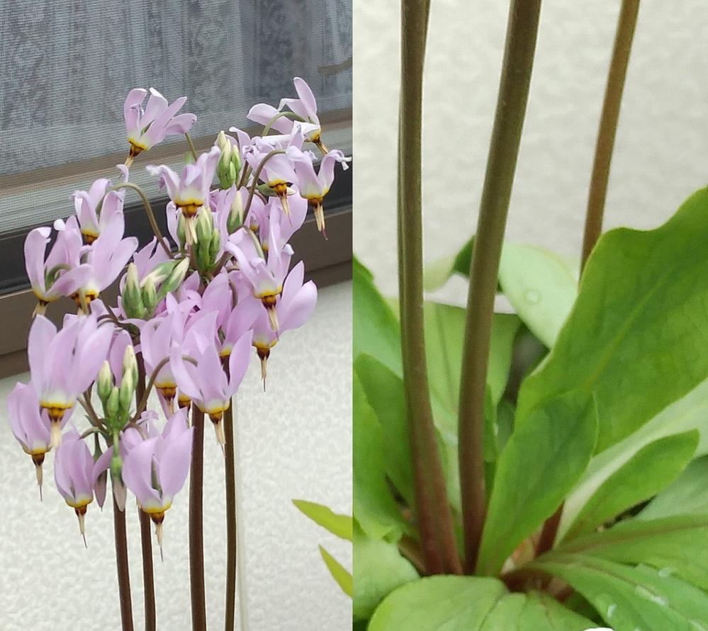 花がカタクリ似のこの植物は何でしょうか?
