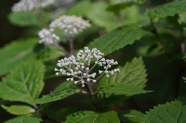 山で見かけた低木の花です。 名前を教えて下さい。 宜しくお願いします。