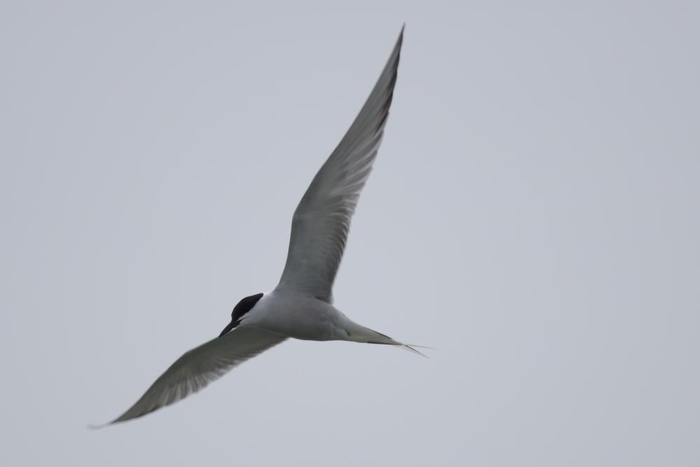 この鳥の名前を教えてください オホーツク地方でみた鳥です 急降下して餌を撮っていました