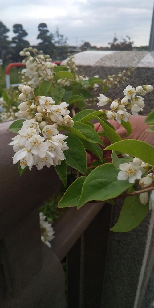 この木は何ですか?川端の橋の下から満開に咲いていて、とても綺麗で。