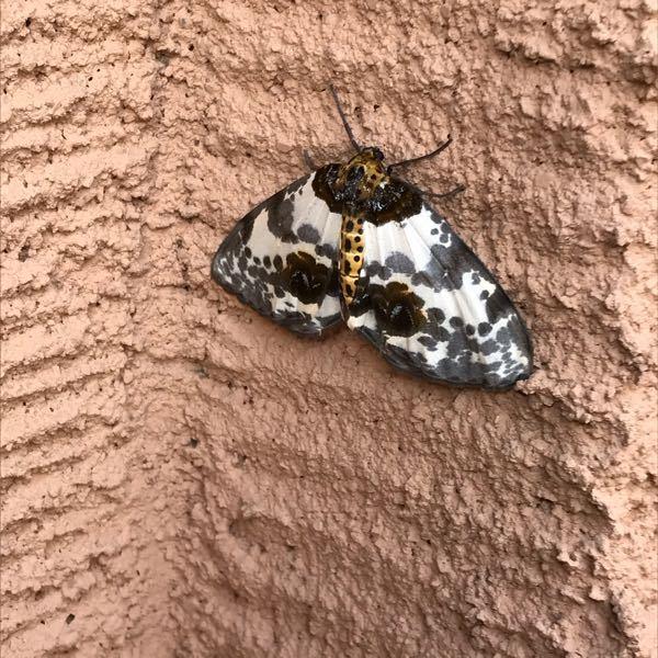 庭でこの数日 この蛾が大発生しています。 この蛾はなんですか? 教えてくださいよろしくお願いいたします。