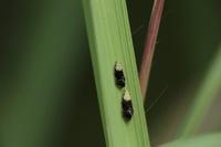 こちらの虫、ウンカの種類な気がしますが、調べても名前が分かりません。教えてください、よろしくお願いします。