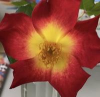 この花の名前を教えて下さい。 アプリで画像検索をしたらマンデビラ?と出ました。 ただ葉っぱはギザギザしており、トゲあります。 バラでしょうか? お願い致します。
