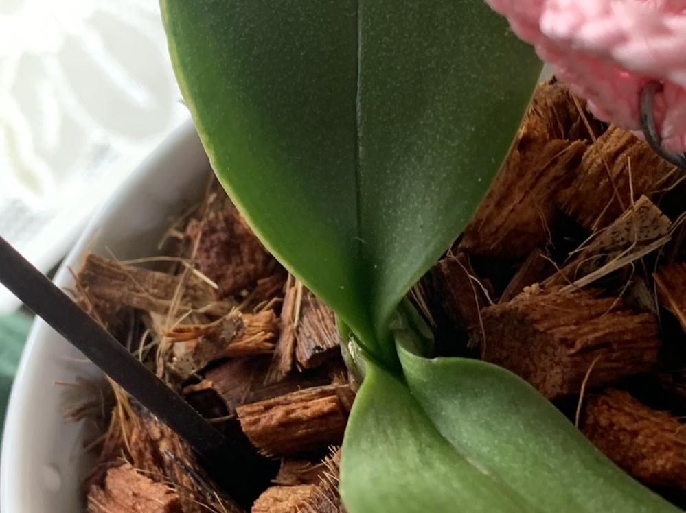 胡蝶蘭(ミディ)(マイクロ)はいつ葉っぱが出ますか?先月ホームセンターで購入し初心者です 因みに今は花が満開(花茎1本)です ベテランの胡蝶蘭愛好家さんアドバイス宜しくお願いします