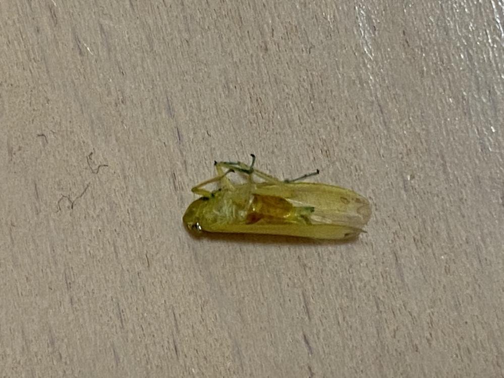 この虫はなんて言う虫でしょうか? 体調は1cmもないほどでセミの小さい版みたいな虫です。