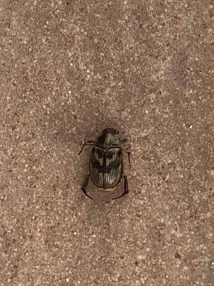 庭にいたこの甲虫の死骸の種類が分かる方いらっしゃいますでしょうか? 大きさは9ミリ〜1センチぐらいです。 息子と図鑑やネットで調べましたが、分からず、学芸員さんにみてもらうべきか迷っています。