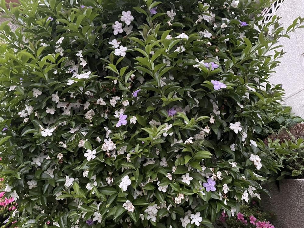 この花の名前をわかる方いますか? 白と紫のような花です 今の時期枯れかけていますが、すごくいい匂いがするので気になっています