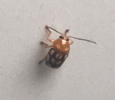 うちの車に見たことが無い虫がずっと張り付いているのですが、何という名前の虫でしょうか?