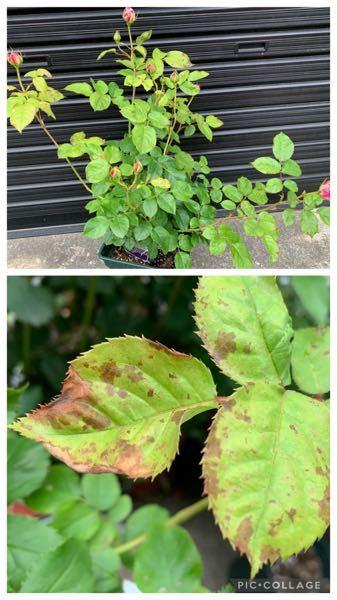 これは病気でしょうか。バラの葉が部分的に変色しています。 エリアーヌ・ジレを鉢植えで育てています。 3月に大苗を購入して、サプロール乳剤を1000倍希釈で散布しました。 日照は午前中のみなので、ペンタガーデン希釈液を月一くらいで与えています。その他に肥料は与えていません。 この他に数鉢品種の違うバラを育てていますが、同じ症状は出ていません。こちらのみです。 写真上が全体像です。下の方の葉は健康そうで、上の方の若い葉に変色が多く見られます。 蕾が上がってきて楽しみにしていたのですが、他のバラがどんどん咲いていく中、これだけずっと蕾のままです。 改善するよう対処したいと思っています。 アドバイスいただければ幸いです。