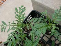 アフリカンマリーゴールドを種から育て苗にしたのですが、葉っぱが縮れているものが何個かあります。 ちゃんと育って植え付けたものもいくつかあるのですが… 何か原因が考えられるでしょうか?