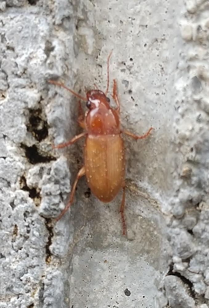 虫苦手な方閲覧注意! この虫が家の壁や土の上をチョロチョロ動き回っていたのですがどういう虫でしょうか? 害はありますか? 写真の虫は赤いですが、黒い色の者が多いです。黒色の動きがなかなか止まらず、やっとこの赤を撮影しました。 見ていると必死で土に潜ろうとしていました ゴキブリではないですよね…?