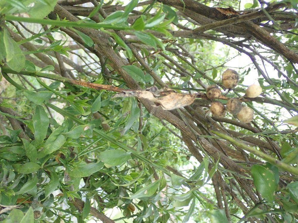 写真(右が上です)は亡父が庭に植えていた木です。何の木でしょうか。 隣にグミとユスラウメが植えられているので、おそらくそれに近い種類と思いますが、黄色い1cm程の果実らしきものが成っています。写真の樹木名を教えてください。