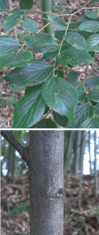 写真の木の名前を教えてください(3) 庭に生えている木なのですが、場所的に出来れば切ってしまいたいと思っています。 ただ、木によっては残した方が良いのかなと悩んでいます。 名前を教えていただければ幸いです。 よろしくお願いいたします。