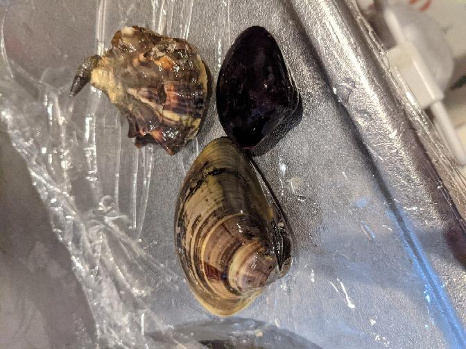 蒲郡の竹島で潮干狩りして取れた貝の種類を教えて下さい。特にゴツゴツしている個体の種類と可食なのか否かわからなくて困っています。よろしくお願い申し上げます。