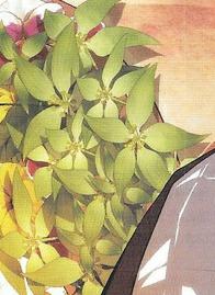このイラストに描かれてる植物の名前を教えてください。 特徴 ・葉っぱみたいなお花?花みたいな葉っぱ? ・葉脈が平行脈 ・花弁が5枚