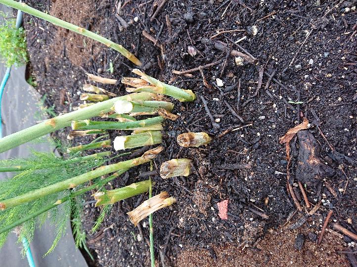 アスパラの収穫後、収穫した根の部分は置いといてもいいですか? それとも引っこ抜いて取ってしまった方がいいですか?