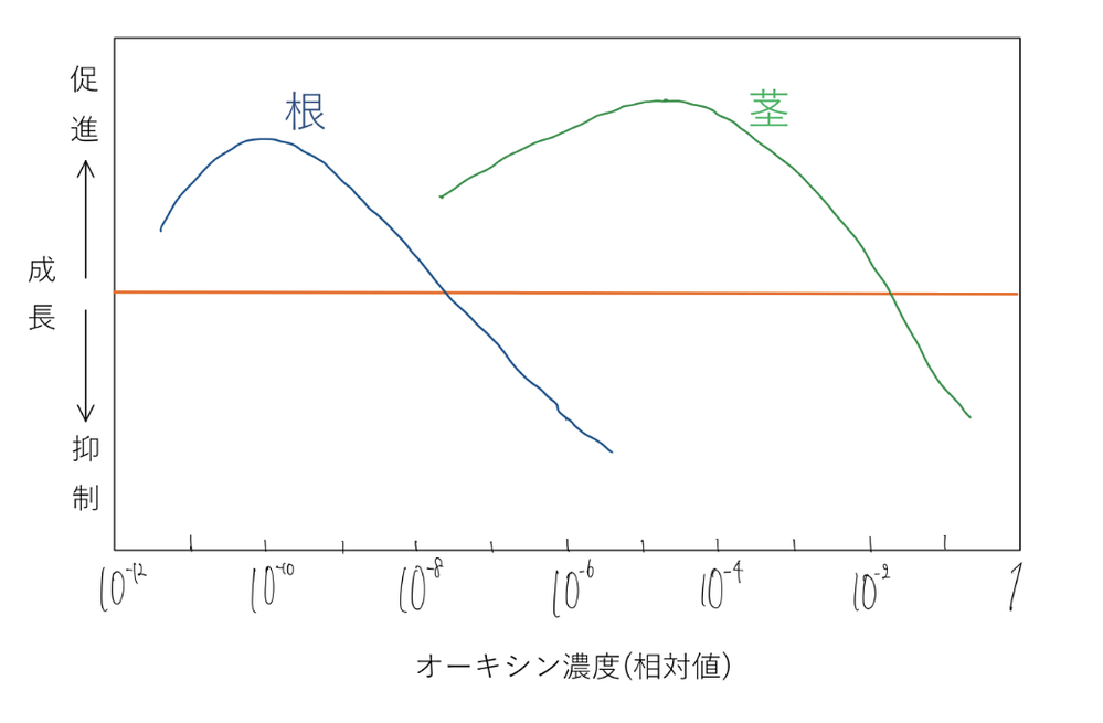 高校生物 植物ホルモン オーキシンの働きに関して質問です。 教科書に以下の様な図がありました。 (著作権的に掲載はできないと判断したため手書きにしているので正確ではないです) この中央のオレンジ色の横線の補足説明として 「オーキシンを加えずに培養した場合」とありました。 なぜ直線になっているのか。そもそも横軸の「オーキシン濃度」が変化してるのに一定になっているのは何故ですか? 教えてください。