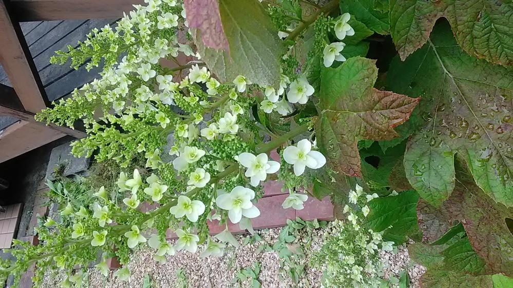 この花の名前を教えてください。アジサイの仲間かな、とも思うのですが。 (すみません、写真が横になってしまいました。直し方が分からないので、そのまま載せます。)